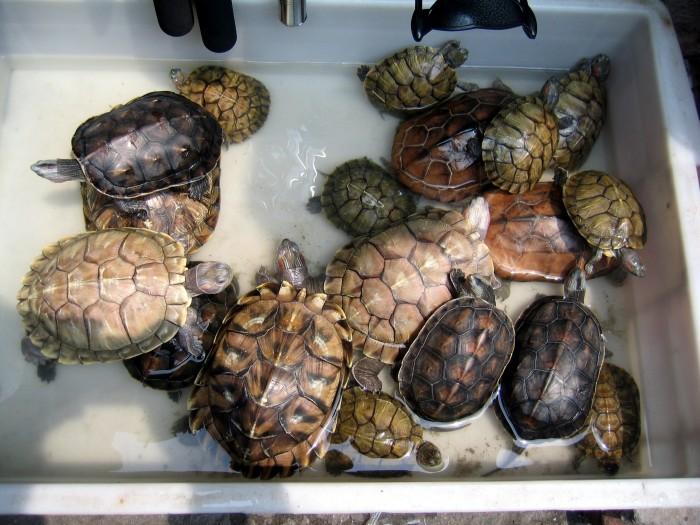 Żółwie przeznaczone do spożycia