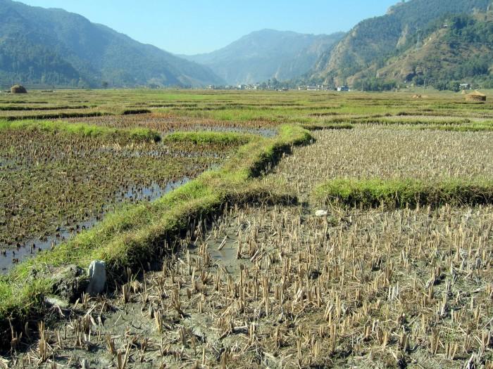 Pola ryżowe w dolinie Pokhary