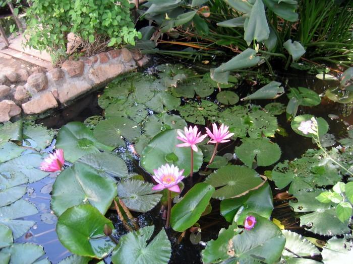 Lotosy w ogródku u Jezuska