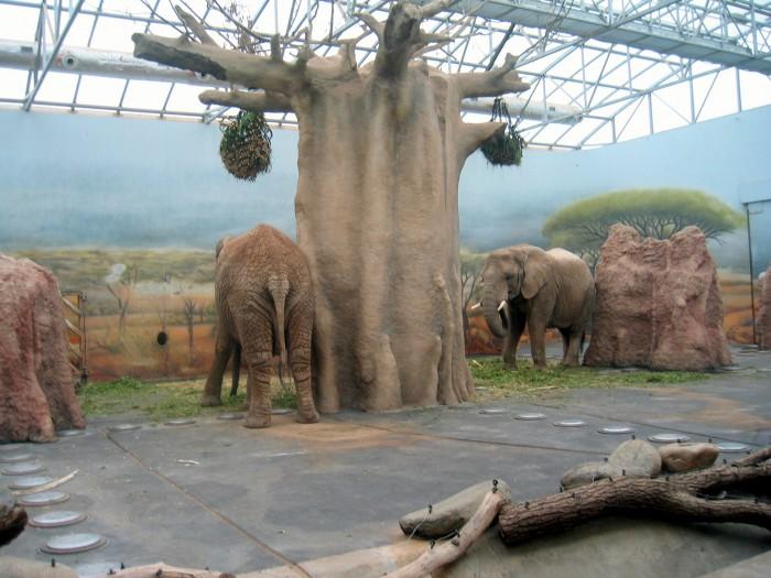 ZOO - Słoń afrykański