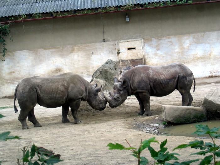 ZOO - Nosorożec afrykański